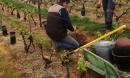 La vigne pousse à vive allure!